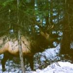 Elk_11