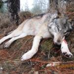 Wolfs_05