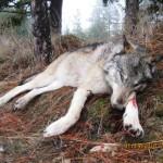 Wolfs_06